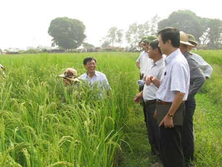 Lãnh đạo Sở NNPTNT Hà Nội đi thăm mô hình lúa nếp cái hoa vàng  tại xã Tam Hưng, huyện Thanh Oai.