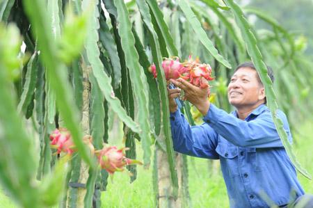 Trang trại thanh long ruột đỏ của gia đình ông Ngô Văn Tích (phường Phương Đông) hiện có 1.500 gốc