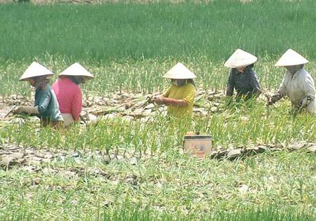 Trồng hành lá xen canh trên đất lúa đem lại thu nhập cao hơn  gấp 5 - 7 lần trồng lúa.