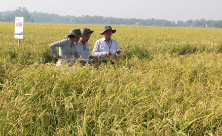 Đại biểu tham quan mô hình sản xuất lúa lai F1 tại xã Phúc Sơn (Tân Yên, Bắc Giang).