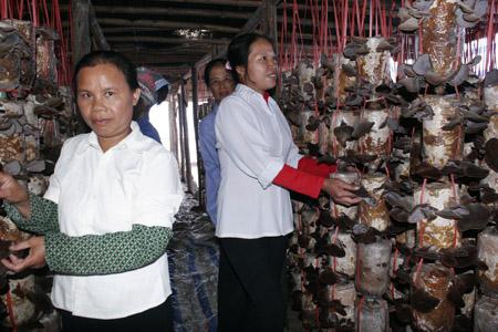 Mô hình trồng nấm của HTX Sản xuất chế biến và tiêu thụ sản phẩm nấm Sáng Thiện.