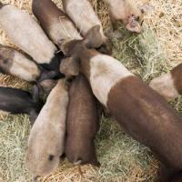 Trùm mafia Ý bị đối thủ ném cho lợn ăn sống