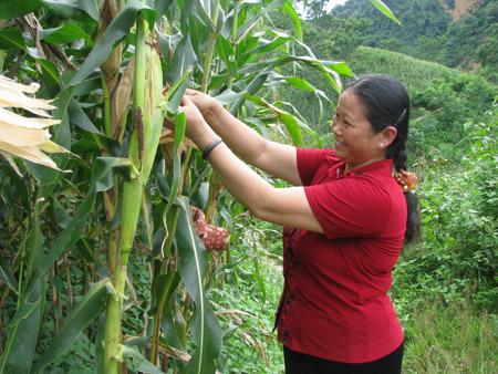 Việc đưa cây ngô GM vào sản xuất sẽ góp phần tăng sản lượng ngô, giảm phụ thuộc vào nhập khẩu.