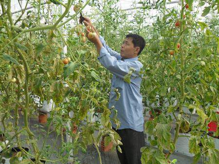 Phân bón đa yếu tố NPK Văn Điển để nâng cao năng suất, chất lượng cây cà chua.