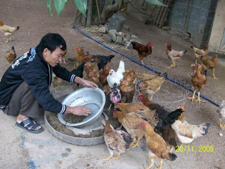 Đàn gà lớn nhanh nhờ các sản phẩm của VIC.