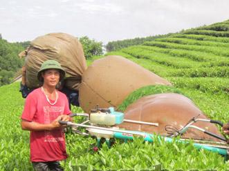 Thu hái chè bằng máy (Nguồn ảnh: Báo Nghệ An)