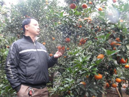Mô hình trồng cam của gia đình anh Trần Quang Cảnh.