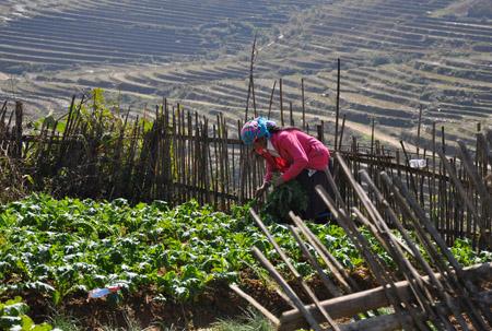 Người dân xã Tả Phìn đang cắt bỏ những cây rau màu bị chết do giá rét.
