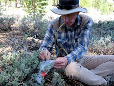Nhà sinh thái học Richard Karban đang nghiên cứu khả năng giao tiếp của cây ngải bụi