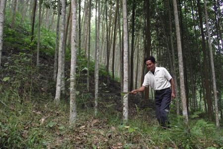 Rừng keo, mỡ sắp được khai thác của gia đình ông Phạm Văn Long.