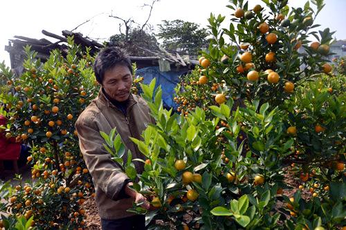 Ngoài nỗi buồn mất mùa, người trồng còn lo quất ế ẩmm nhất là những cây quất có giá hàng chục triệu đồng