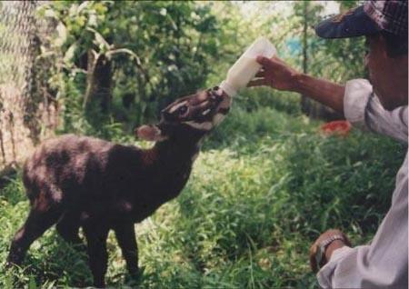 Cá thế sao la được giải cứu tại xã Dương Hòa (TT-Huế) năm 1998 (ảnh Khu bảo tồn)