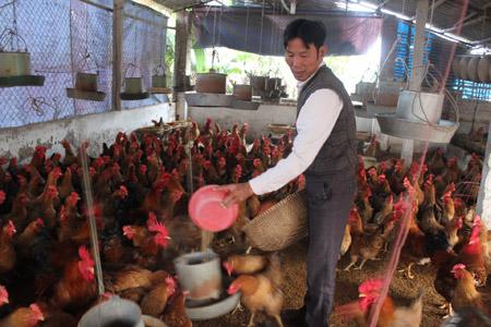 Mỗi năm đàn gà mang về cho gia đình anh Hoà khoảng 170 triệu đồng.