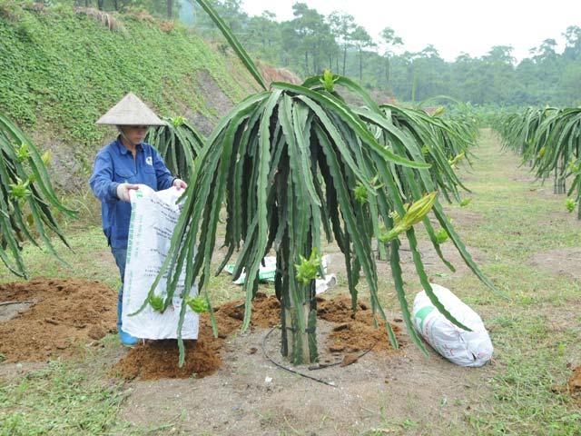 Phân NPK-S Lâm Thao giúp tăng năng suất thanh long