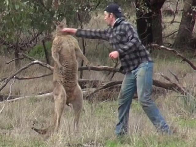 Thanh niên Úc đấm vào mặt kangaroo, giải cứu chó cưng