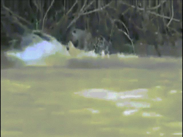 Cá sấu cả gan tấn công báo đốm, nhận kết cục cay đắng