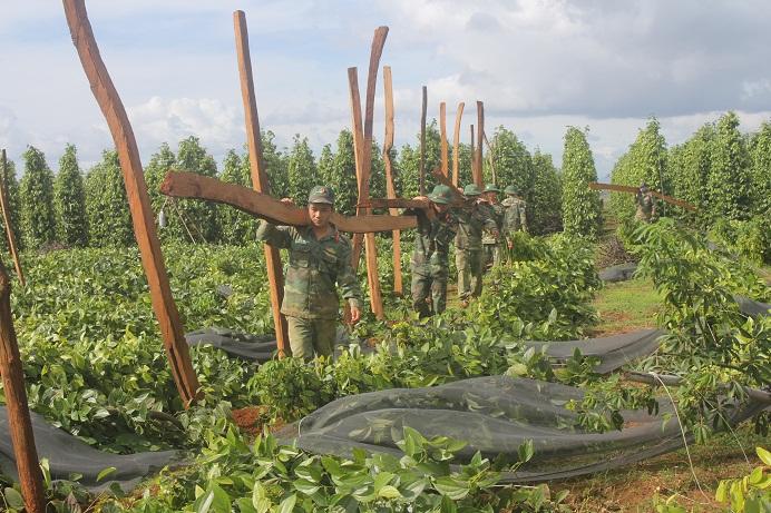 Các chiến sỹ Lữ đoàn 7, Quân đoàn 3 giúp bà con dựng trụ mới trồng lại tiêu