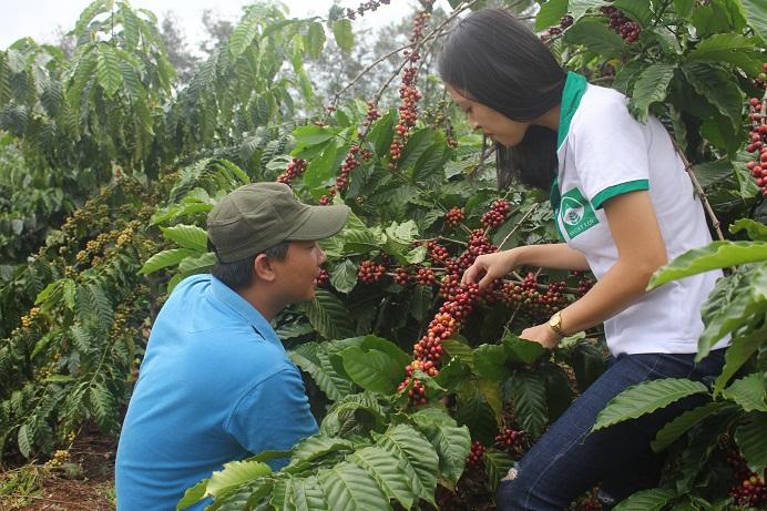 Vườn cà phê sai trĩu quả của anh Trì