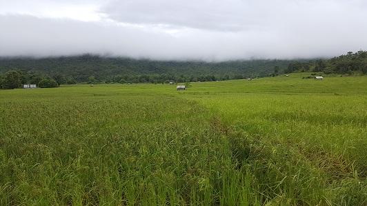 Cánh đồng lúa Ba Chăm ở xã Đăk Trôi, huyện Mang Yang