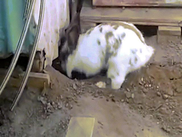 Mèo bị mắc kẹt, thỏ làm việc gây xúc động