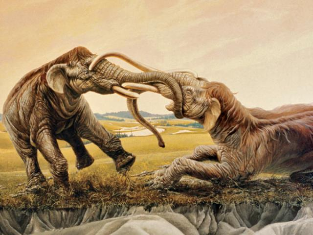 Trận chiến kinh hồn của hai voi ma mút, sừng cắm vào nhau 120 thế kỷ