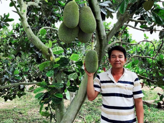 Trồng loài cây ra quả xanh lét, chín thơm điếc mũi, thu 6 tỷ/năm