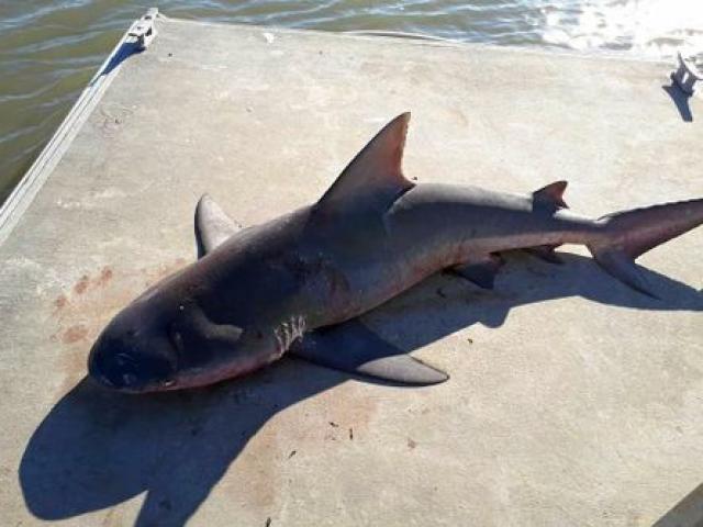 """Cá mập """"dở hơi"""" tự nhiên nhảy lên thuyền của người đi câu"""
