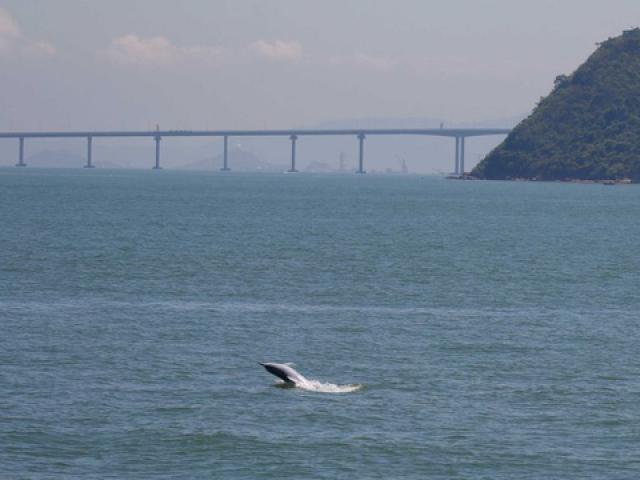 Cầu vượt biển dài nhất thế giới của Trung Quốc bức tử đàn cá heo hiếm
