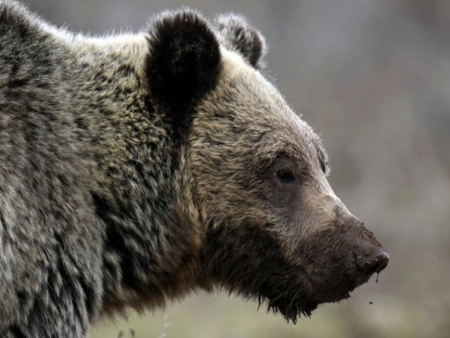 Thợ săn Canada bắn chết gấu, phát hiện điều khủng khiếp xảy ra với vợ con