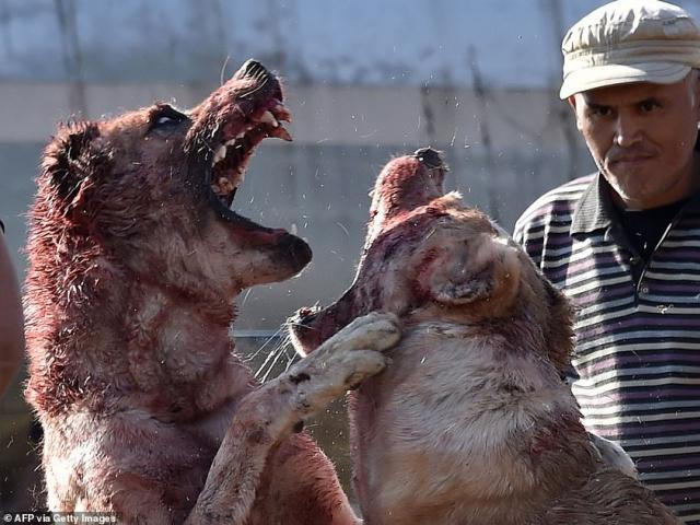 Chó khổng lồ kịch chiến nhuộm đỏ máu trong đấu trường ở Kyrgyzstan