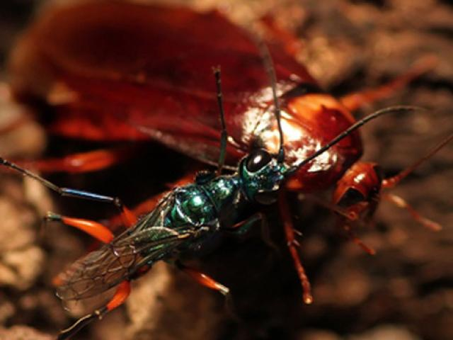 Loài ong tiêm chất độc biến gián thành xác sống