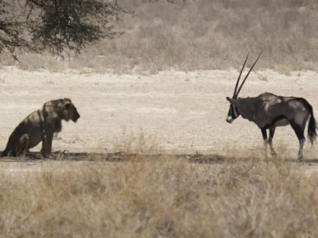 Linh dương sừng kiếm bình thản đến trước mặt sư tử, sẵn sàng đón nhận cái chết