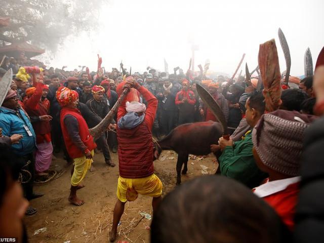 Nepal: 200 người dùng dao, kiếm thảm sát 3.500 con trâu trong khu đất rộng bằng sân bóng đá