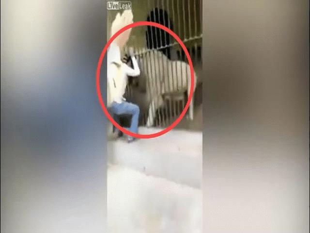 Pakistan: Một giây sơ sảy khi cho sư tử ăn, người trông giữ thú phải trả giá đắt