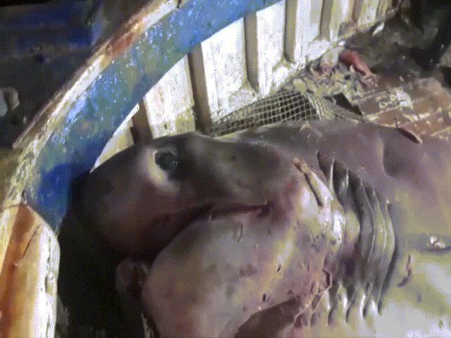 Video: Bắt được cá mập khổng lồ chưa từng thấy, nặng 700kg
