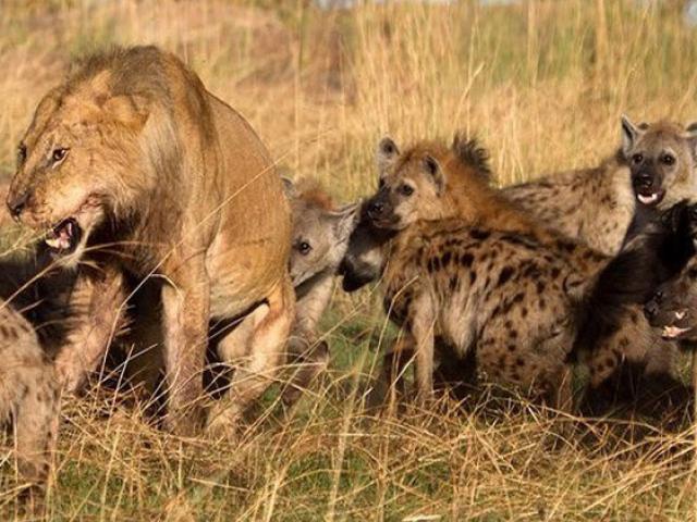 """Màn """"cứu giá"""" đầy kịch tính khi sư tử bị đàn linh cẩu đánh hội đồng"""