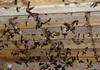 """Nghề nuôi chim yến gặp """"đại hạn"""""""