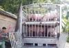 Không để dịch tả lợn châu Phi tái phát, lây lan diện rộng