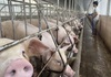 Giá lợn hơi hôm nay (23/11): Điều chỉnh tăng trở lại ở một số địa phương