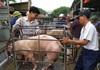 Giá lợn hơi hôm nay (25/11): Một loạt tỉnh thành ghi nhận giảm 4.000 đồng/kg
