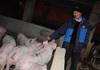 Giá lợn hơi hôm nay (30/11): Điều chỉnh nhẹ ở một số tỉnh thành