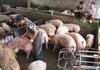 Giá lợn hơi hôm nay (2/12): Tăng - giảm nhẹ ở một số địa phương
