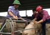 Giá lợn hơi hôm nay (3/12): Một số tỉnh miền Bắc có giá thấp nhất cả nước
