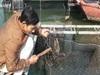 Cá song, cá giò chết nổi trắng mặt nước cả chục tấn, nông dân Quảng Yên lo mất Tết
