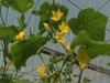 Nam Định: Thu nhập 1 tỷ đồng/năm từ mô hình trồng dưa leo trong nhà lưới