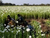 Ấn Độ: Phát hiện trang trại trồng cây thuốc phiện bất hợp pháp trị giá 54.000$ USA
