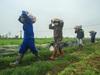 Hải Dương: Nông dân Chí Linh hồ hởi ra đồng thu hoạch nông sản sau khi gỡ lệnh phong tỏa