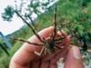 Cận cảnh loài nhện độc nhất thế giới có thể hạ gục người chỉ trong một vết cắn