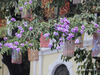 Loài hoa biểu tượng của sự thủy chung nở rộ khắp đường phố Hà Nội