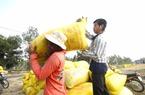 Giá lúa gạo tăng cao nông dân hết lúa bán, doanh nghiệp lo hủy hợp đồng